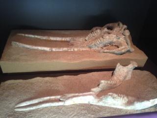 The maxillum and mandible of an early elephant ancestor.
