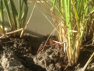 The crayfish makes a quick retreat between the rice stalks.